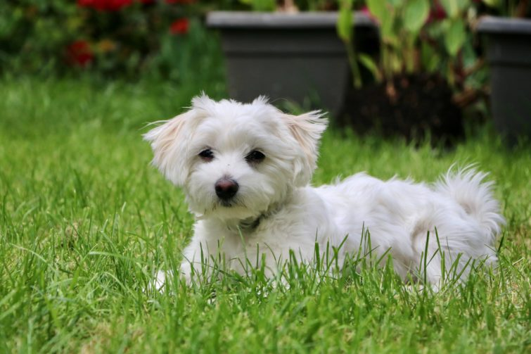 Small white puppy lying on the grass