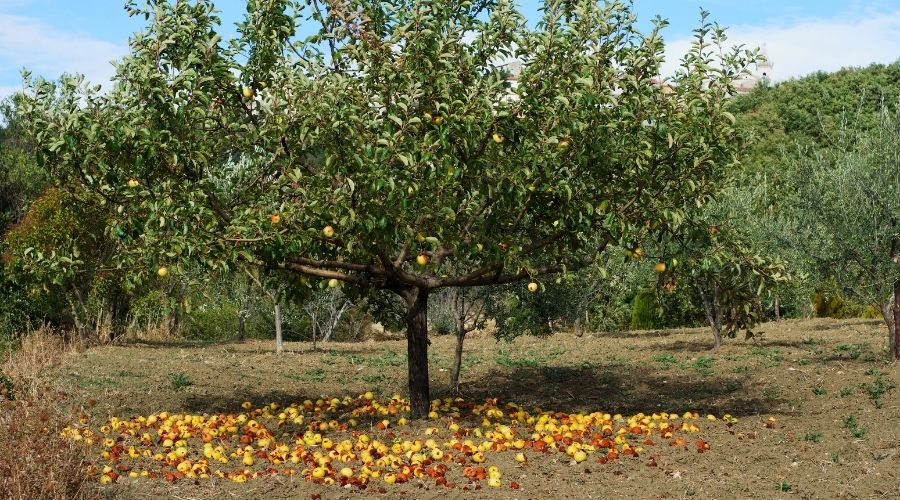 An apple tree outdoors, surrounded by fallen apples