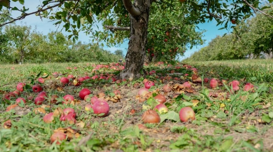 Fallen apples on the ground around a tree outside.