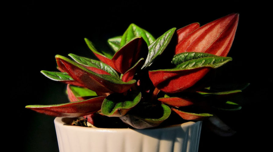 Close-up of red and green plant in pot