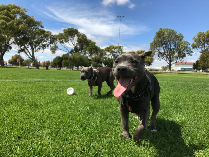 Two dogs playing in their yard