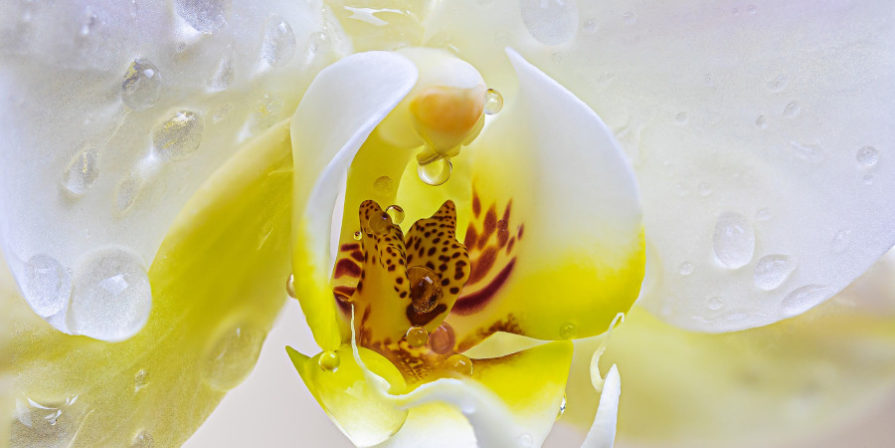 Close-up of dew drops on white and yellow orchid