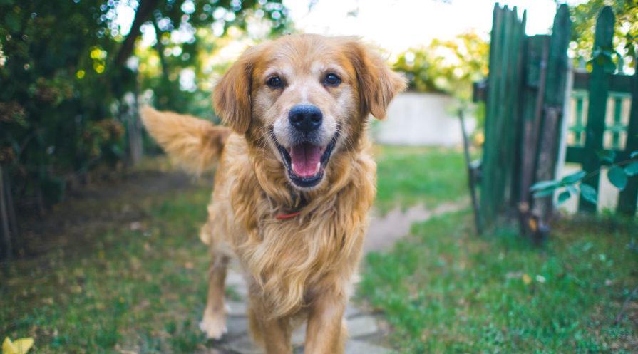 Happy older golden dog smiling as walking on pathway