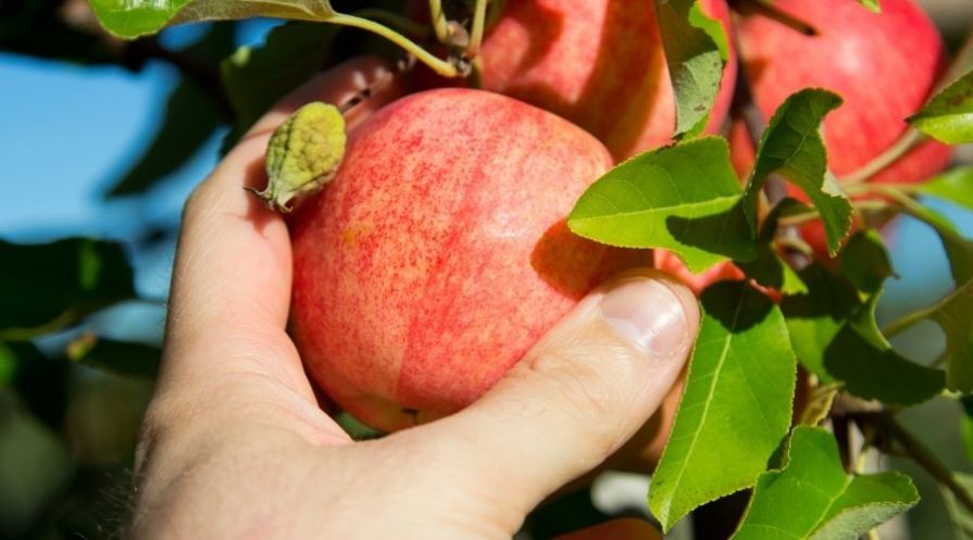A person's hand reaching up to pick an apple.