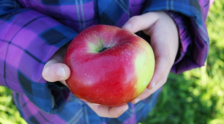 A child's hands holding a freshly picked apple.