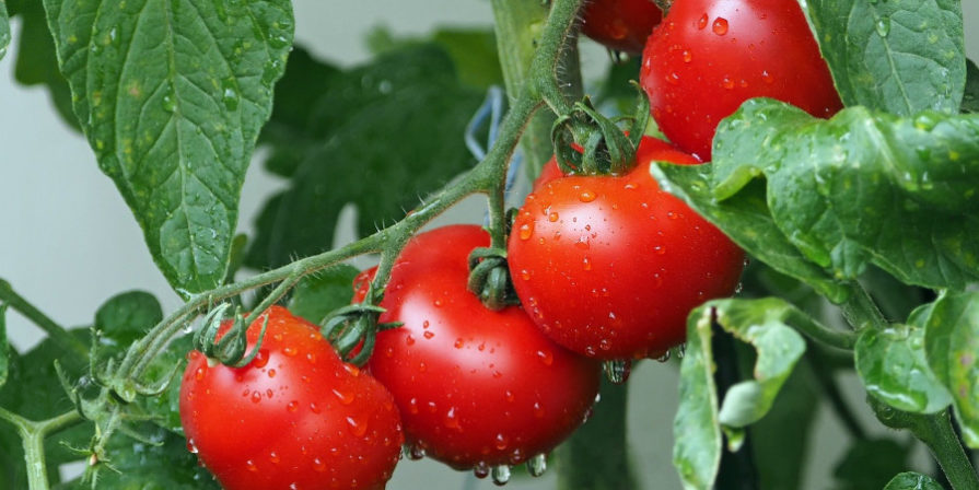 Close-up of dew moistened tomatoes on vine