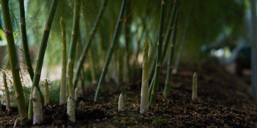 Asparagus Shoots Growing
