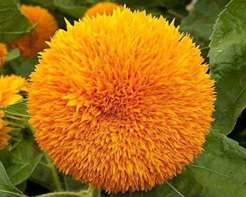 Zellajake Farm and Garden Teddy Bear Dwarf Sunflower Seeds