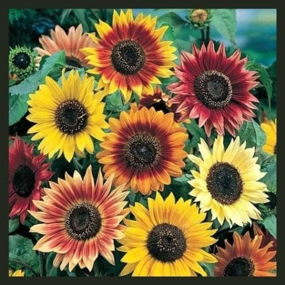 RattleFree Autumn Beauty Sunflower Seeds