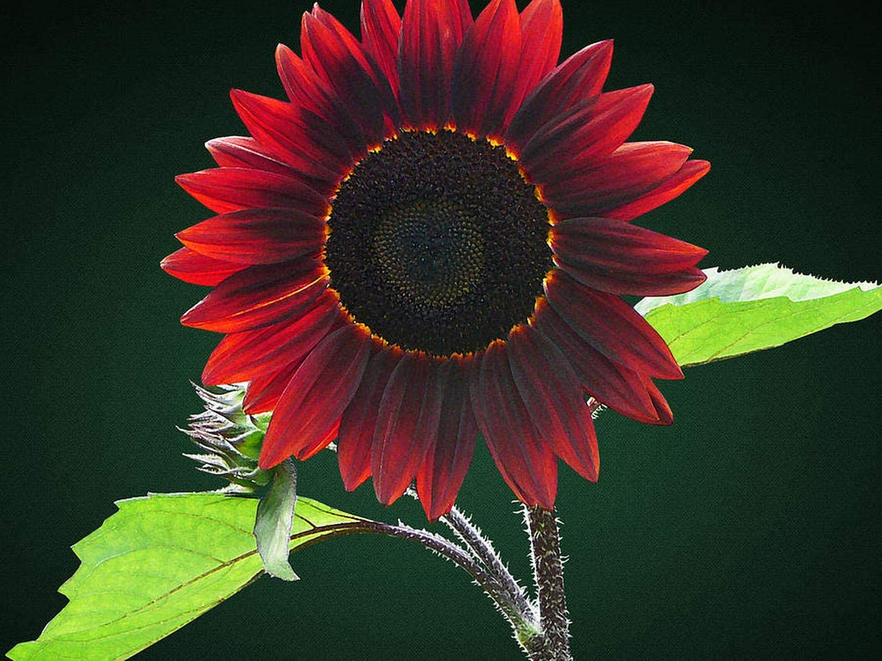 CZ Grain Chocolate Cherry Sunflower Seeds