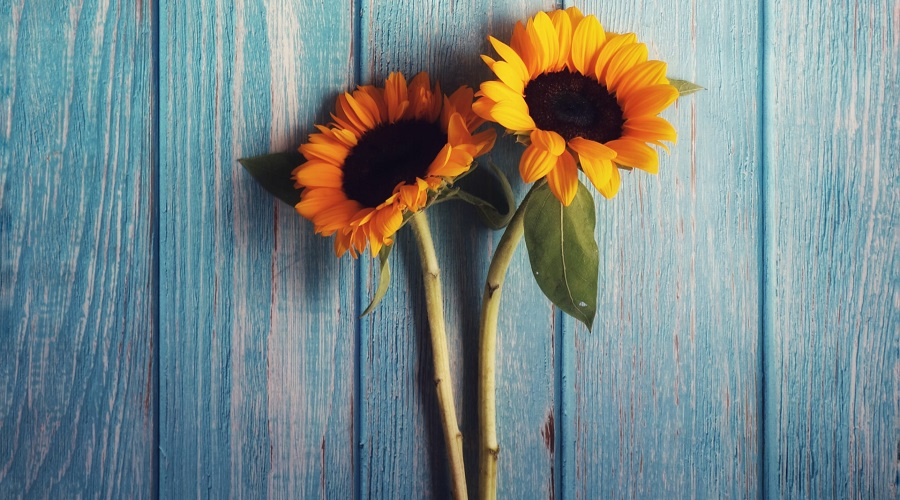 two sunflowers on a blue table