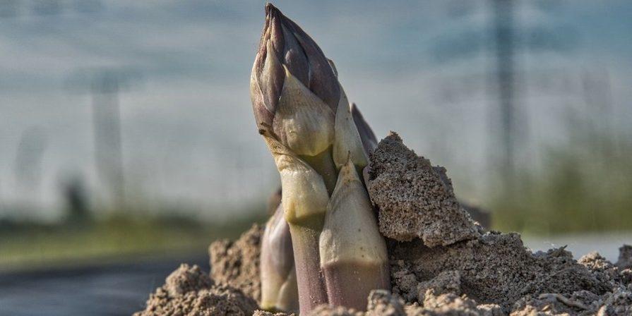 Asparagus Shoot Just Above Soil