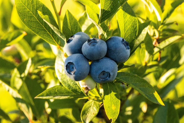 Fresh bluberries on a bush in a sunny day