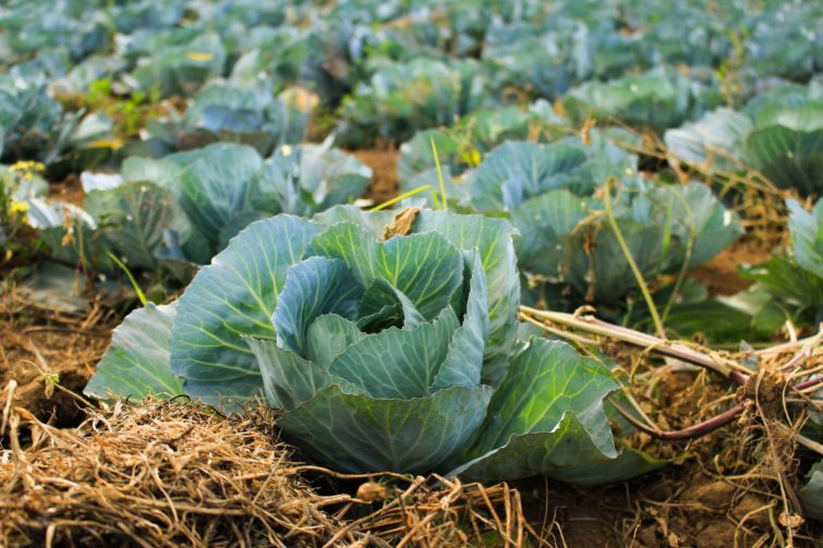 Cabbage ready to be harvested