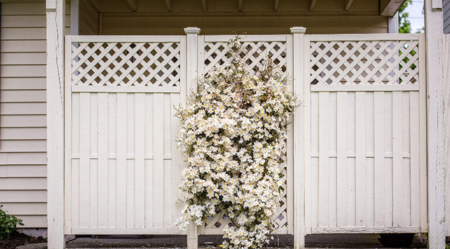 White garden fence with white flowers climbing center section