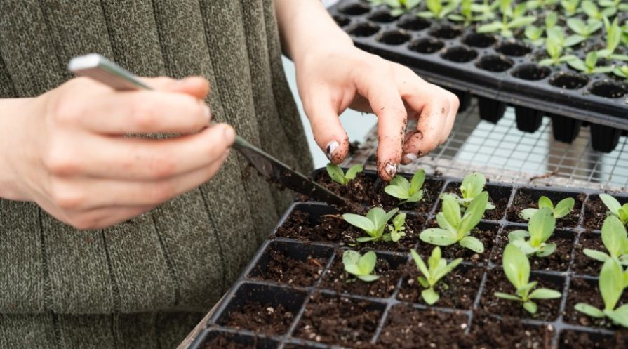 A person's hands working with seedlings in a seed starter kit