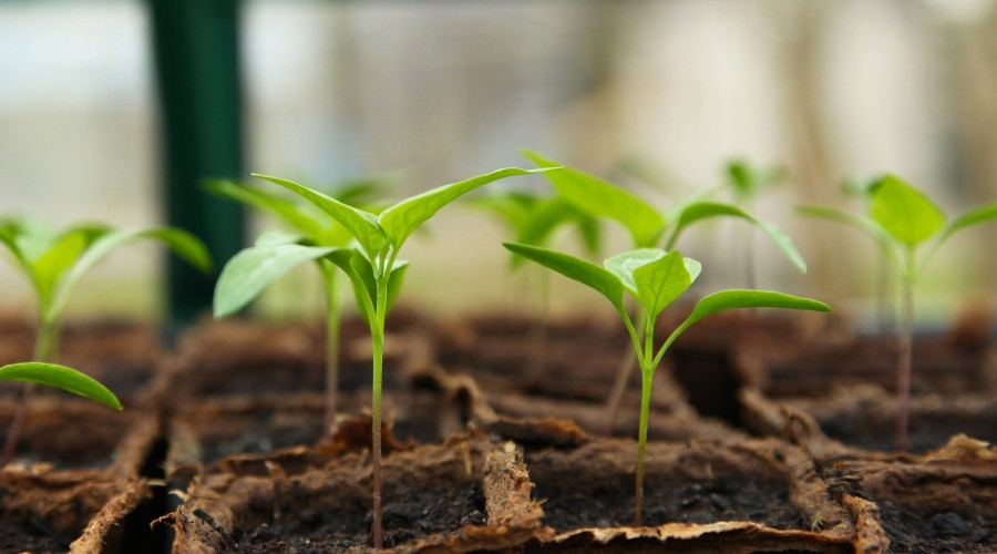 seedlings planted in square biodegradable pots