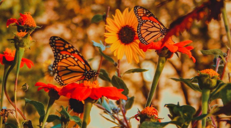 Orange butterflies on orange flowers in garden