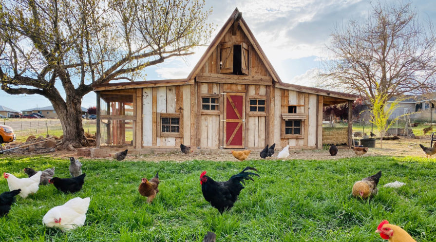 chickens in foreground with attractive chicken coop in background