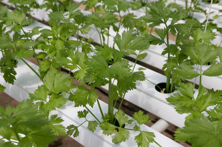 small cilantro plants