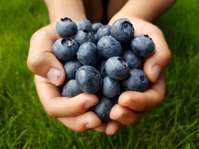 Hands full of fresh blueberries