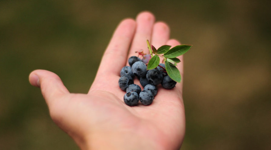 hand holding ripe blueberries just picked