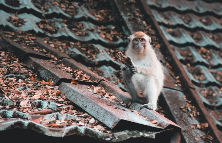 Monkey sitting on the roof covered with leaves