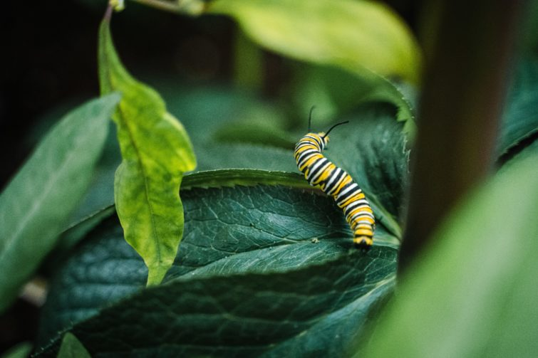 Green and white caterpillar on green leaves