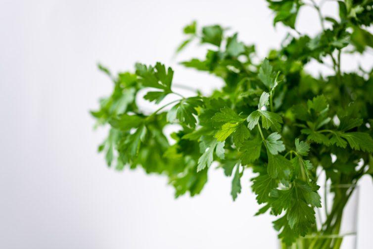 Fresh cilantro on a white background