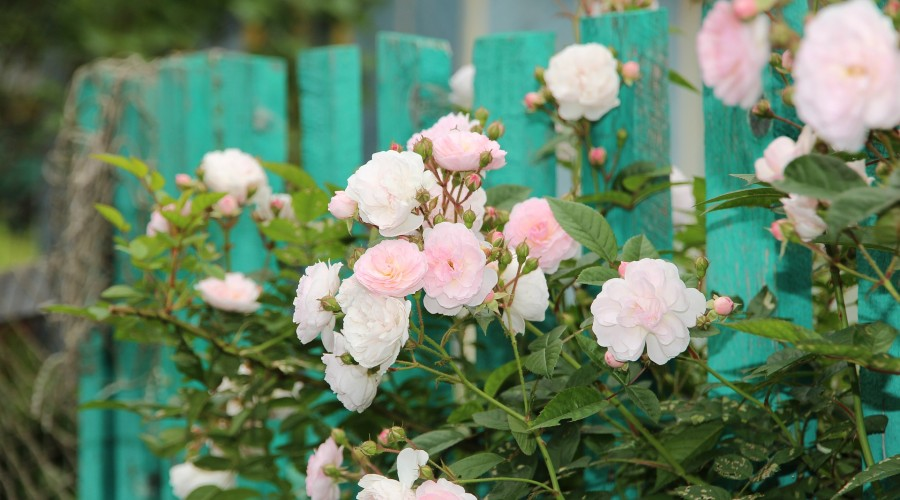 pink and white roses along a teal painted fence
