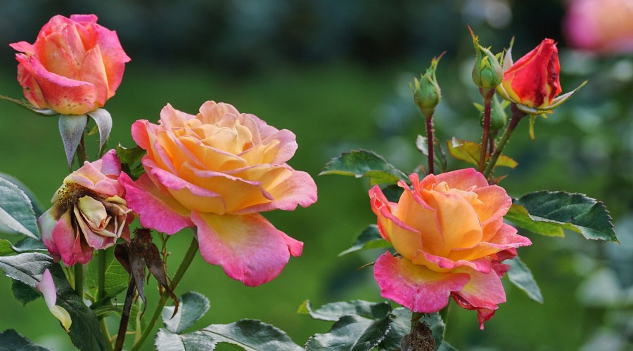 Pink and orange roses planted outdoors
