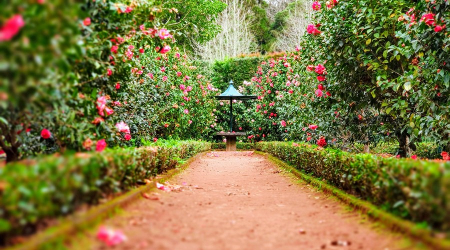 A pathway surrounded by pink roses