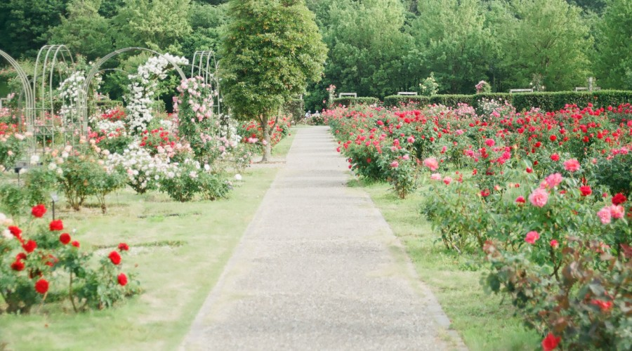 a large decorated rose garden with a concrete pathway