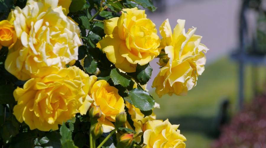a rose garden of yellow roses