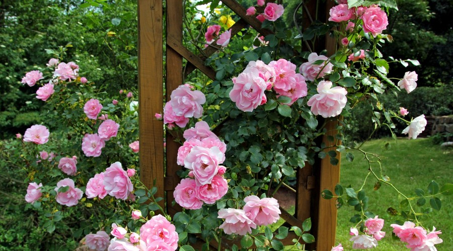 Pink roses growing on a wooden lattice