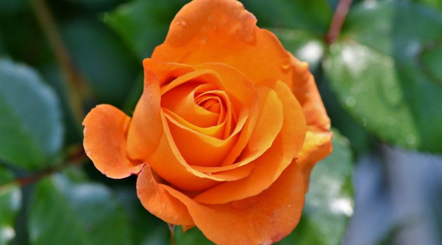 orange rose still on bush