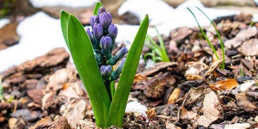 Hyacinth In Mulch