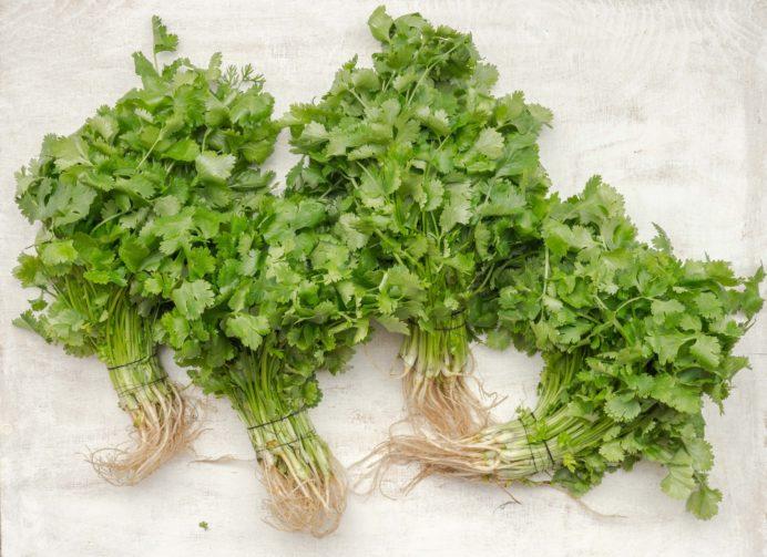 four cilantros on the white background