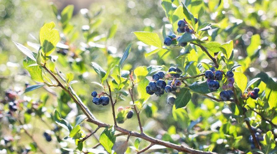 Ripe blueberries on a bush