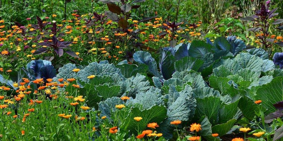 Cabbage And Flower Garden