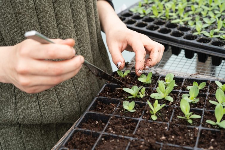 Planting small plants into the trays