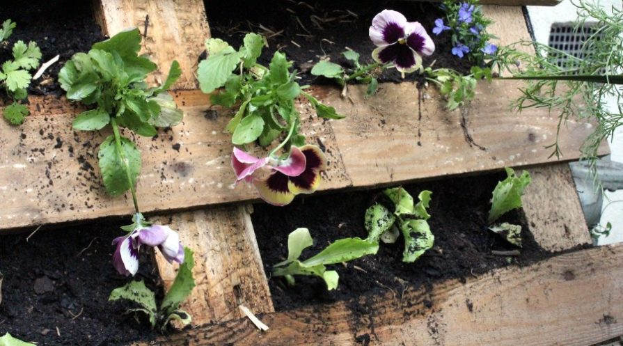 Pansies growing inside a pallet, hung on the wall