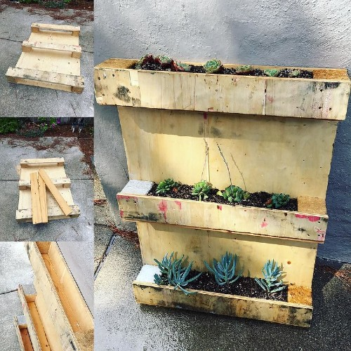 Succulents growing in a pallet wood planter