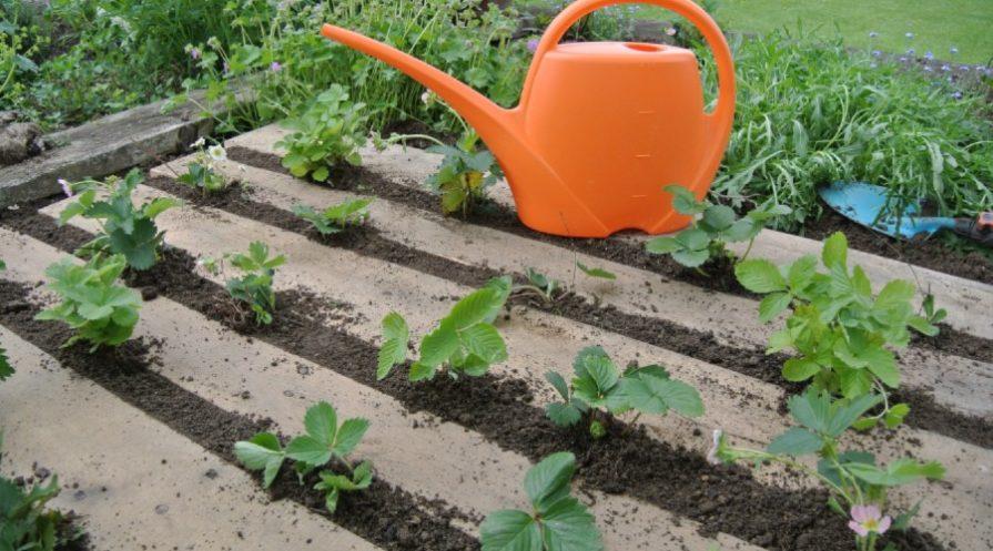 Strawberry plants peeking up through a pallet planter