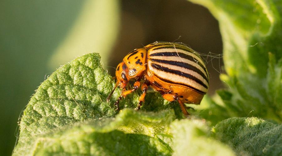 Colorado Potato Beetle eating vegetable