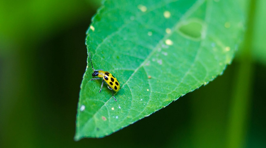 Spotted cucumber beetle on a leaf