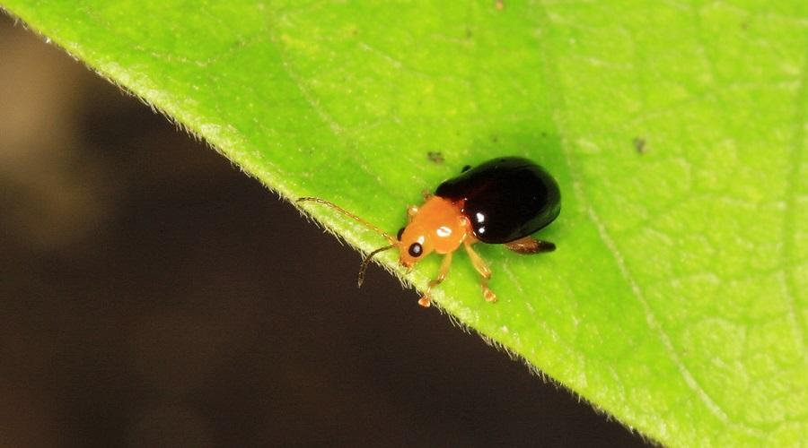 flea beetle on a leaf