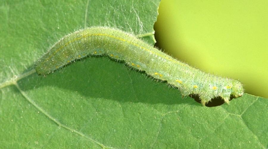 imported cabbage worm on a leaf