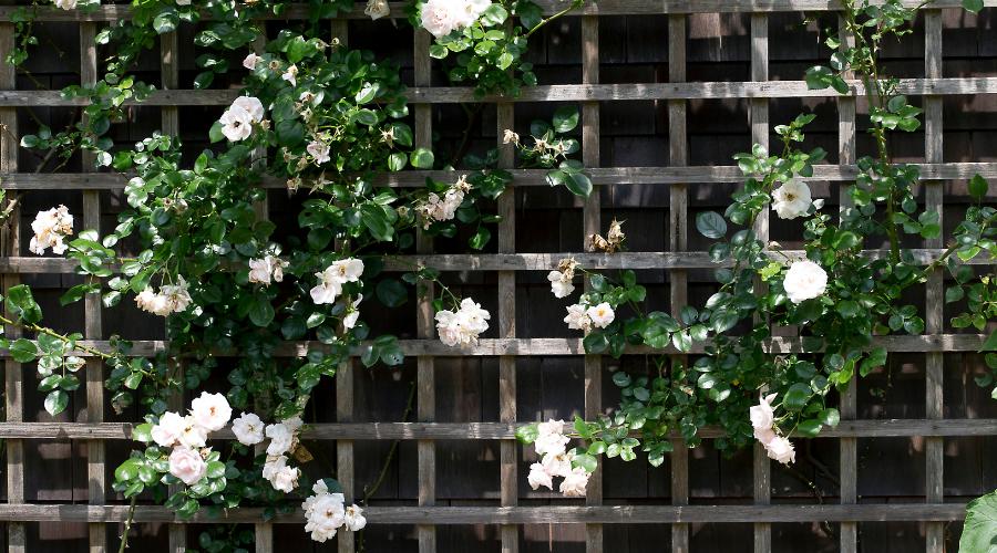 Trellis with white roses