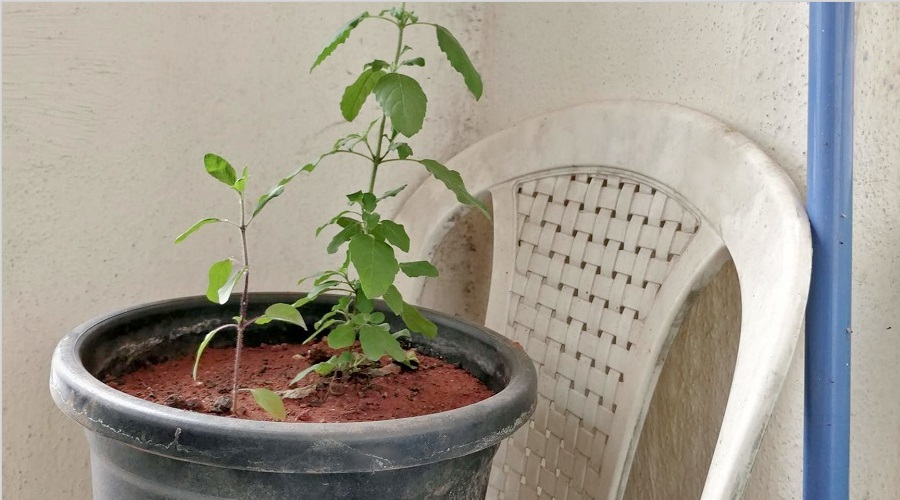 plant drooping from transplant shock